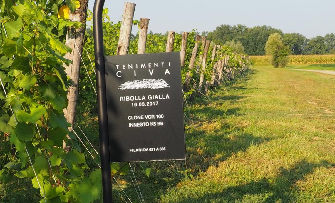 Spotlight on Ribolla Gialla, a vine that identifies Friuli Venezia Giulia