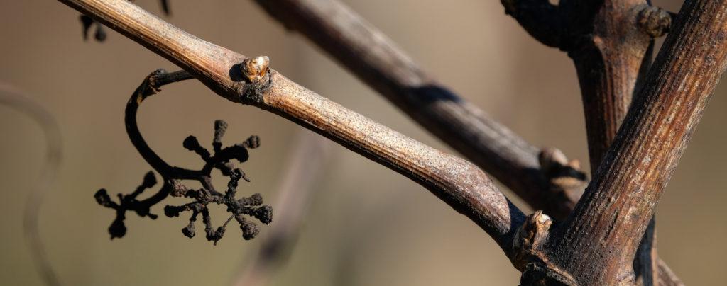 Vigna selvatica piantata in Friuli di Tenimenti Civa